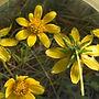 Wild Sunflower.jpg