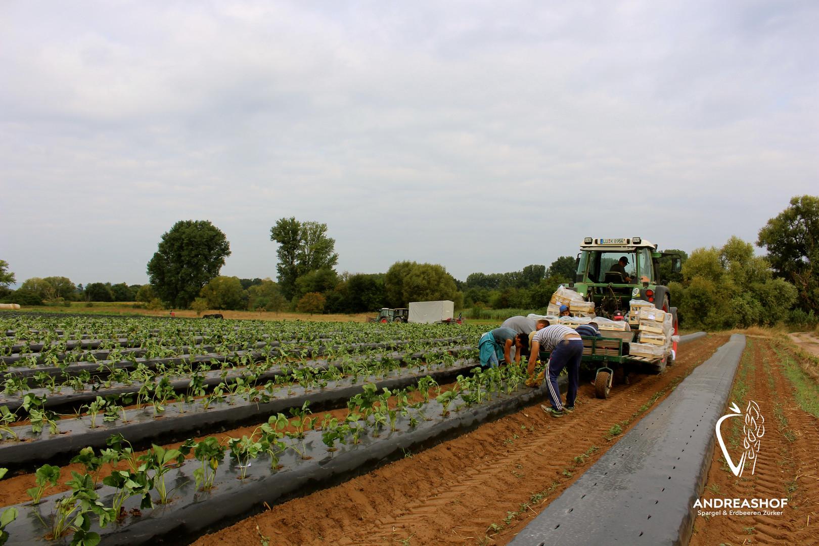 Erdbeerpflanzung