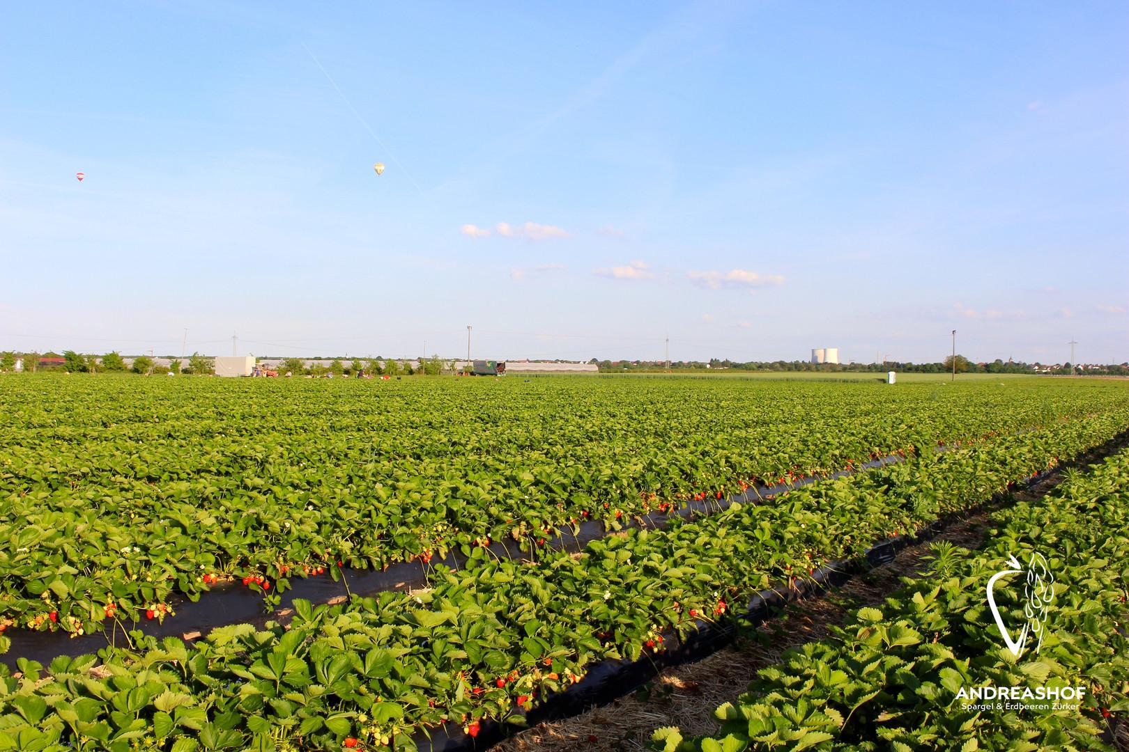 reife Erdbeeren im Freiland