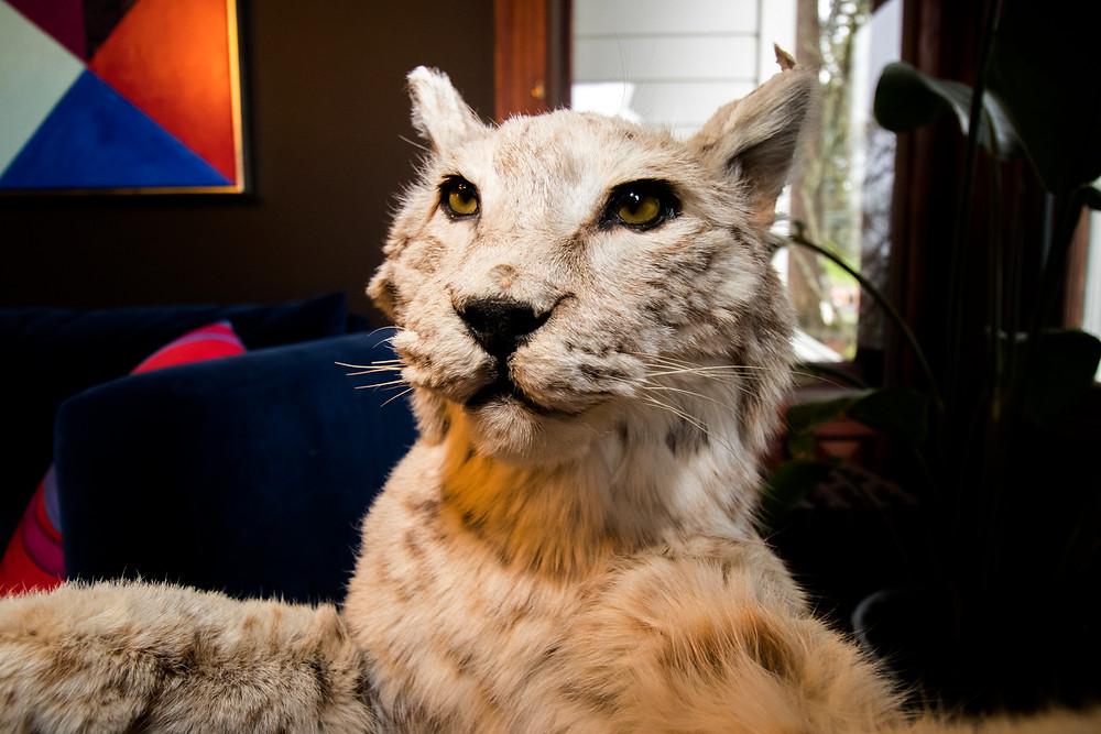 a close up shot of a bobcat in a historic portland home
