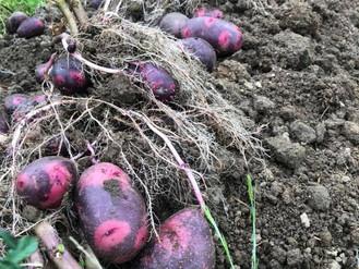 今日は、じゃが芋収穫!