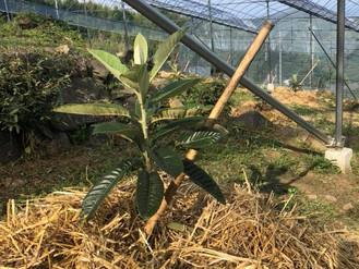 枇杷の苗木を