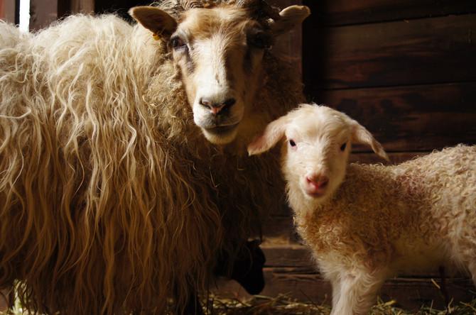 Lambing season is over!