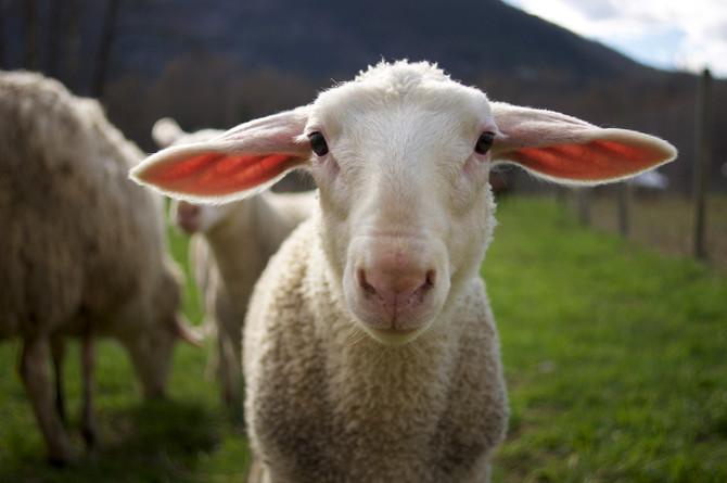 Ram Lambs for sale