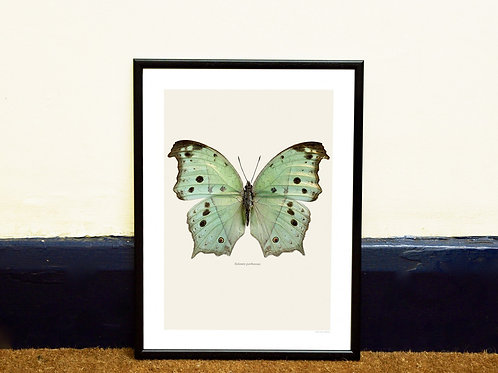 ALAMIS PARHASSUS - FRAMED BUTTERFLY PRINT