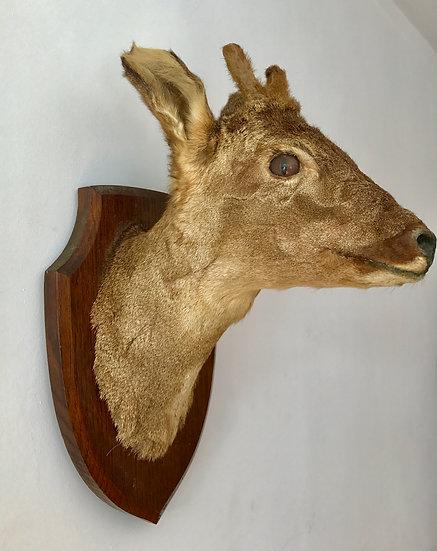 Mounted Roe Deer Head Taxidermy #375
