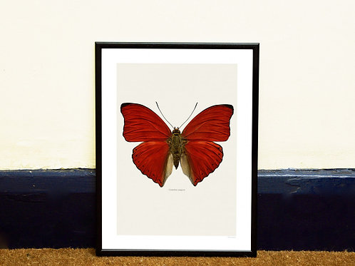 CYMOTHOE SANGARIS - FRAMED BUTTERFLY PRINT