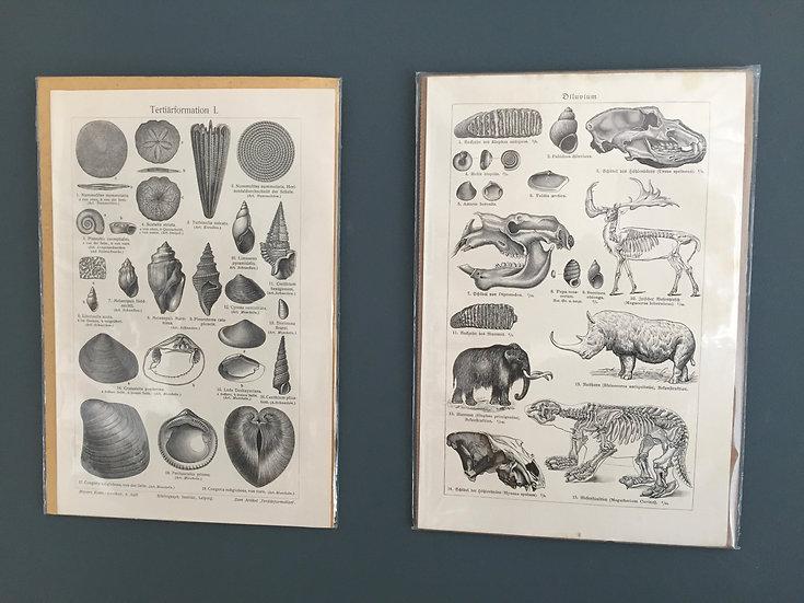 PAIR of TAXIDERMY ILLUSTRATIONS PRINTS 1909-1925 ca.