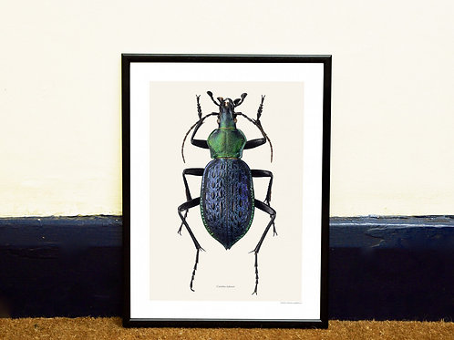 CARABUS LAFOSSI - BEETLE FRAMED PRINT