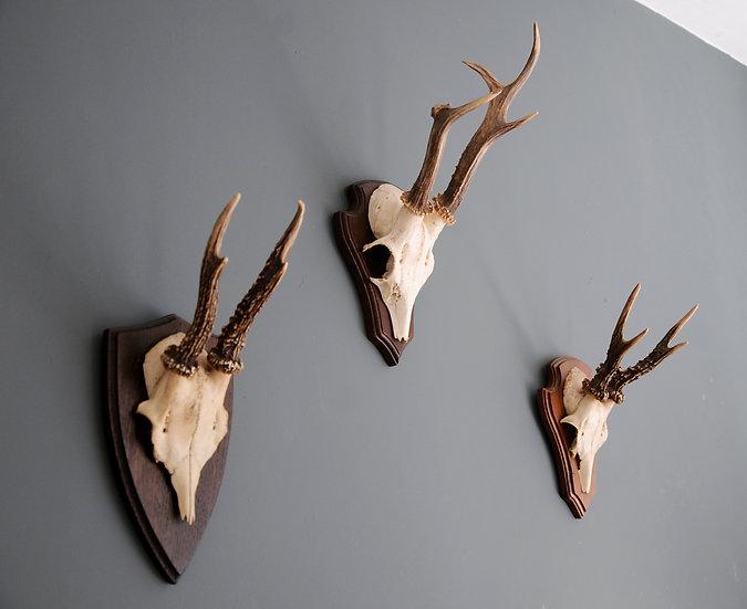 3 x ROE DEER SKULLS ANTLERS