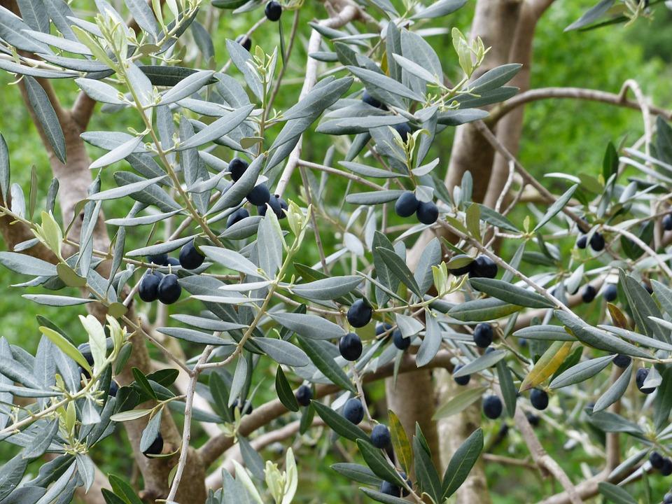 olives-357852_960_720