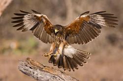 Harriss Hawk l07-45-106_V