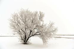 shauna's winter icy tree