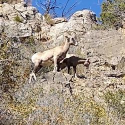 Long horn sheep roaming the hills