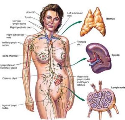 Lymphatic_System