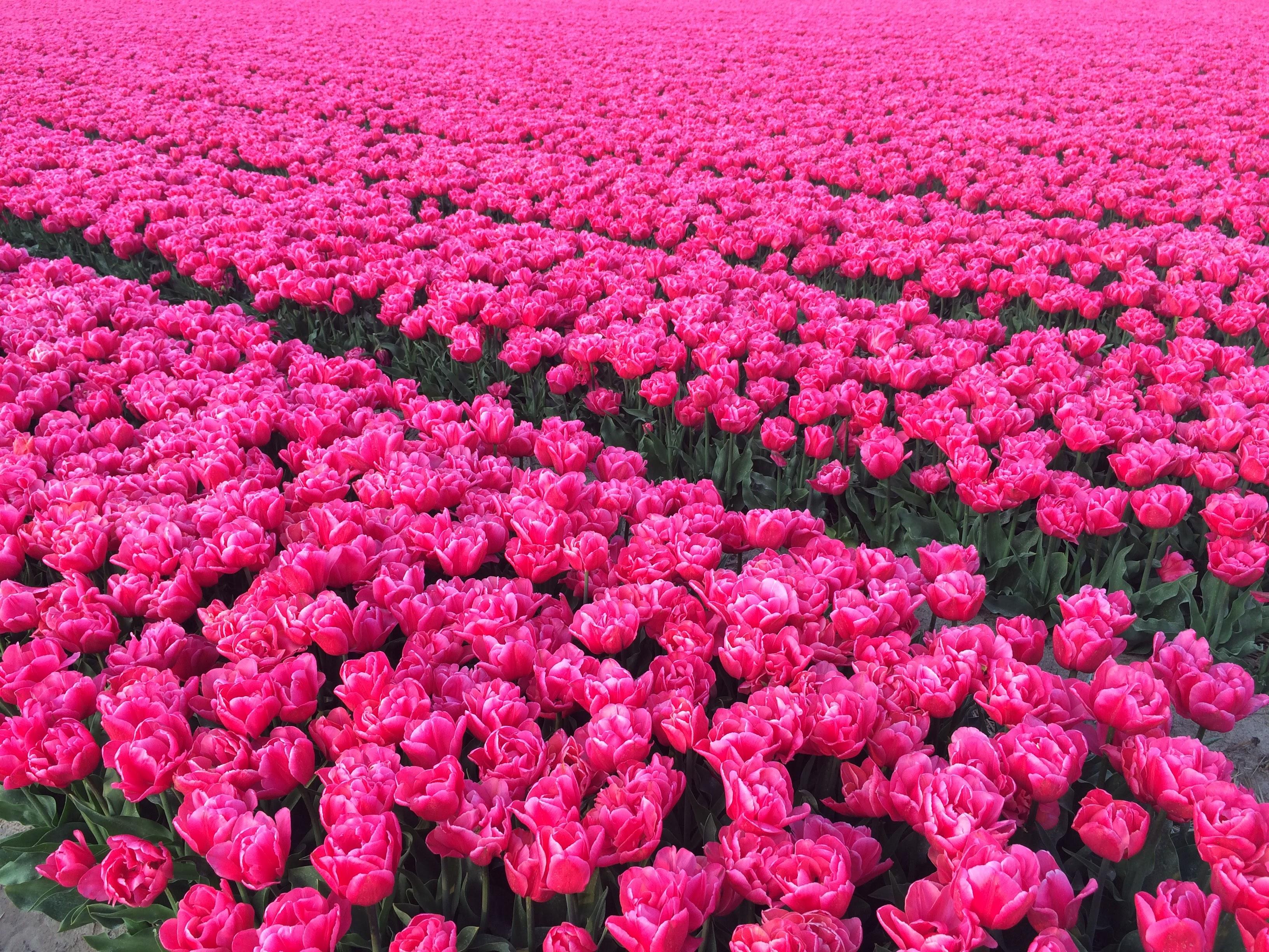 Розовый сорт тюльпанов