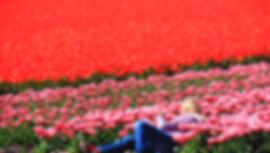 Тюльпаны на полях в Голландии