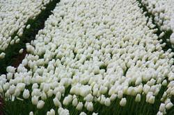Цветение тюльпанов в Голландии