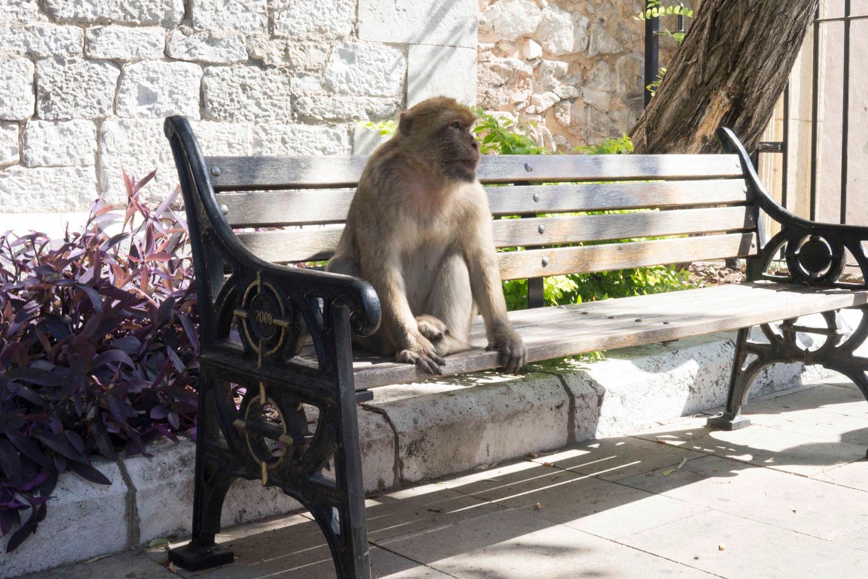 Гибралтарская мартышка