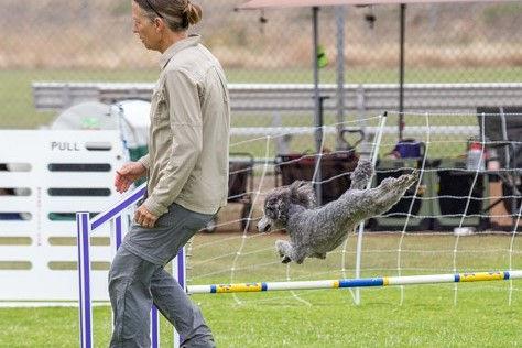 Getti 201906-usdaa-dog-agility-competiti