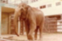 荔園大象天奴 Lai Yuen Elephant TINO