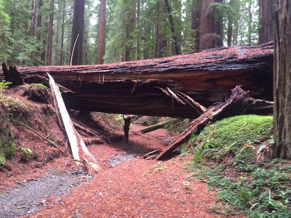 Redwoods2016