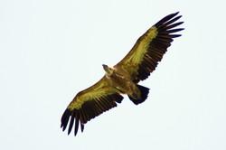 Griffon Vulture Assen