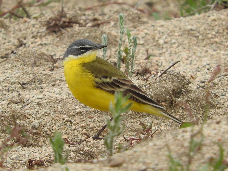 Yellow wagtail B. Voslamber