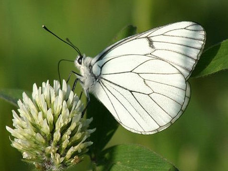 Butterfly watch - Aporia crataegi