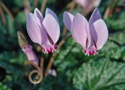 Cyclamen hederifolium (c) A. Strid
