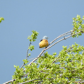 Bird of the Week:  Rock Thrush (Monticola saxatilis)