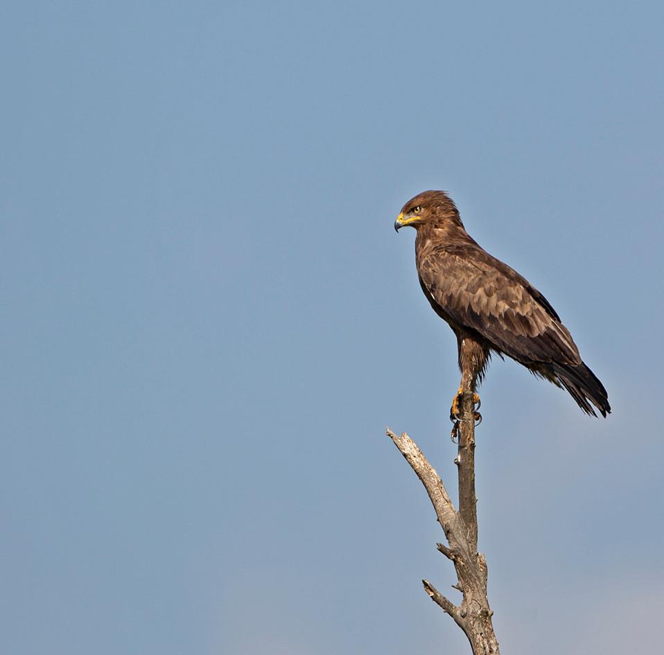 Lesser spotted eagle Aquila pomarina