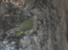 07 green woodpecker mostyn.jpg