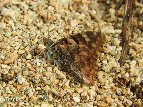 Our first Painted lady of the year