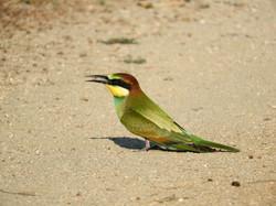 Bee-eater, (c) B. Voslamber
