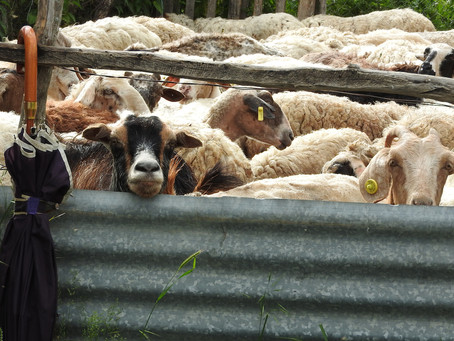 Sheep shearing... the traditional way