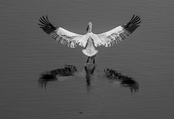 Dalmatian pelican (c) T. Kastritis
