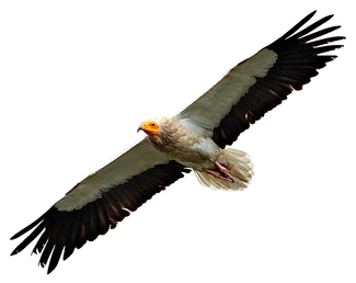 egyptian vulture png.png