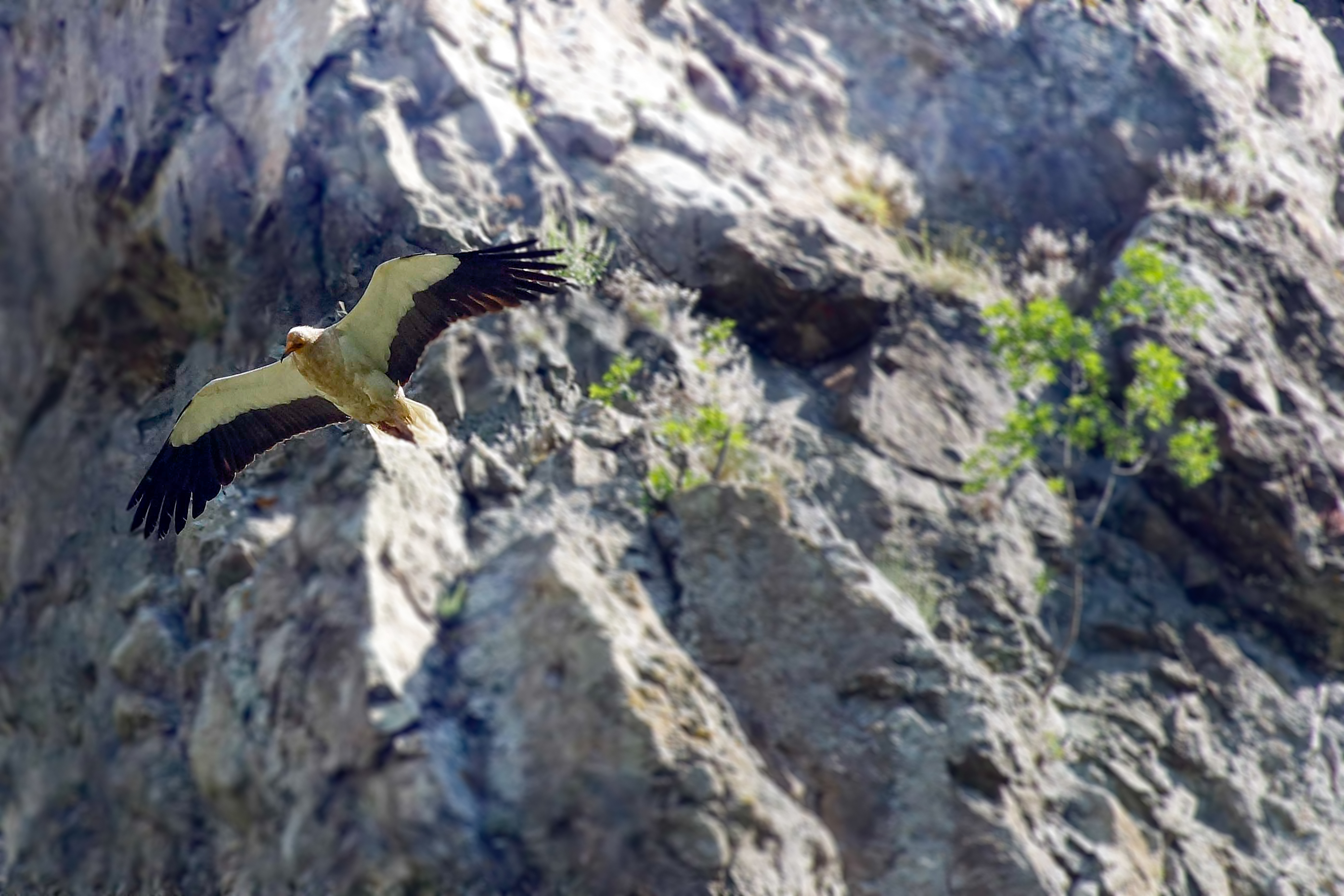 Egyptian vulture 01 Assen