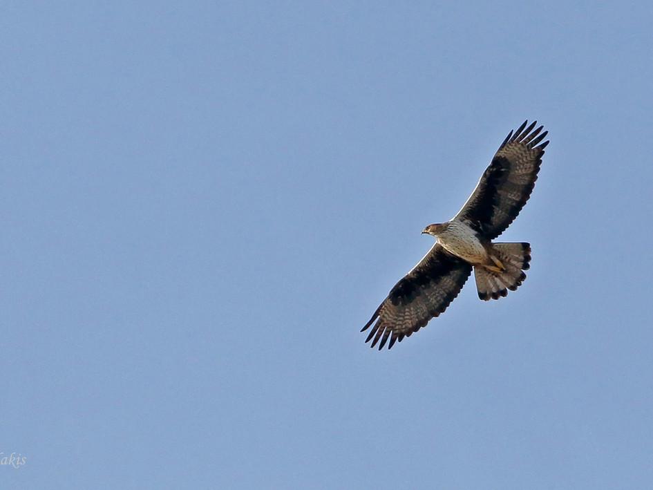 eagle 01_M0A2870 (ph yd 1400).jpg