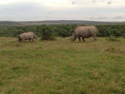 Black Rhino Shamwari Reserve Eastern Cape