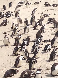 South Africa Penquins