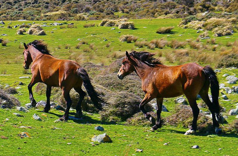 Wild Horses, Wellington, New Zealand