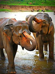 Tootsie Roll, Sri Lanka