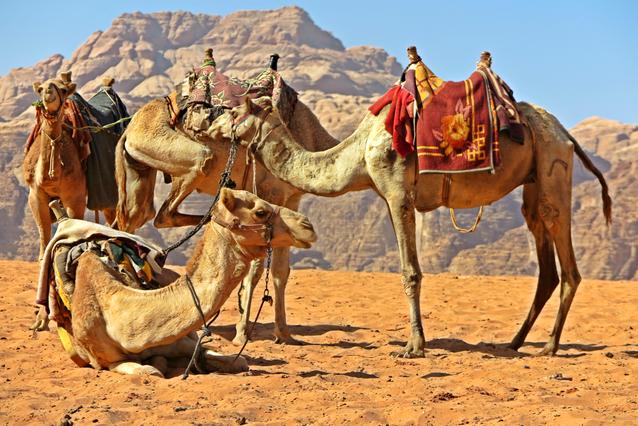 Camels Kicking It, Jordan