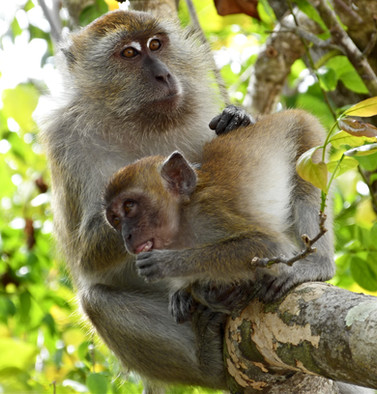 Mother and Child Monkey Around on a Thai Island