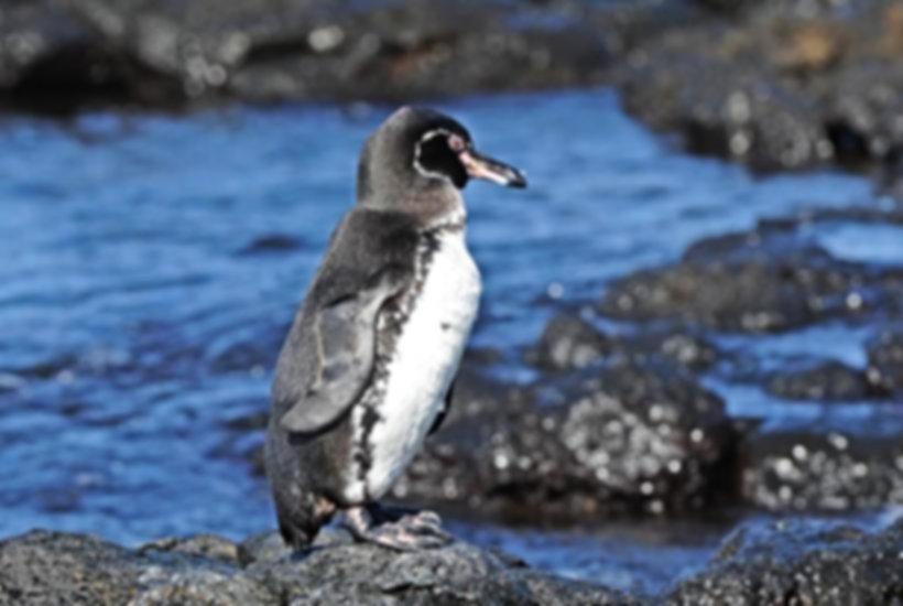 16 - galapagos-penguin.jpg