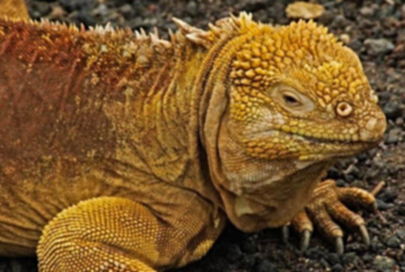 15 - galapagos_land_iguana.jpg