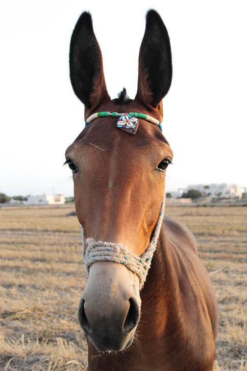 Greek Mule
