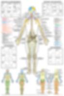 Dry Erase Brain Anatomy Poster: the brachial plexus, lumbar plexus, and sacral plexus